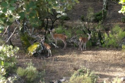 Red deers at Matallana hunting area in Alía
