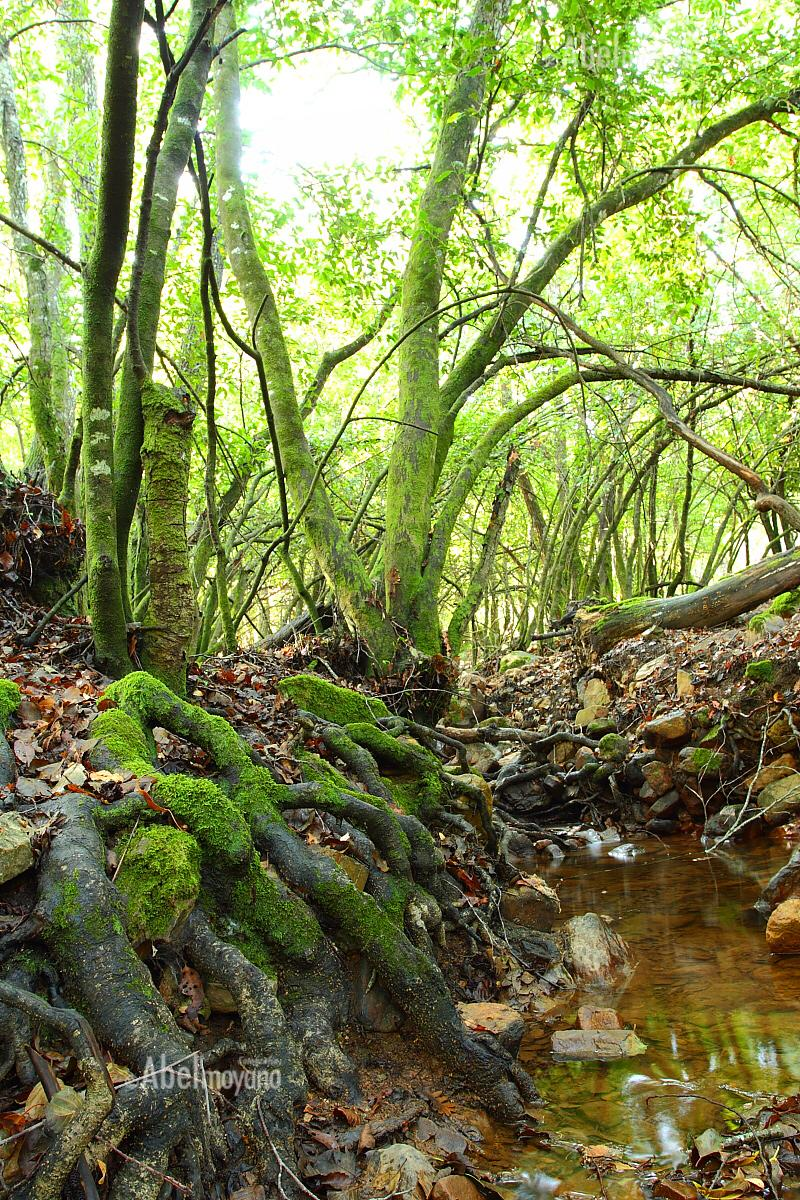 Loro roots at Geopark Villuercas-Ibores-Jara. Extremadura